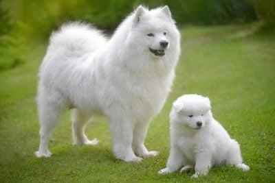 two samoyeds