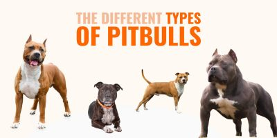 different types of pitbulls