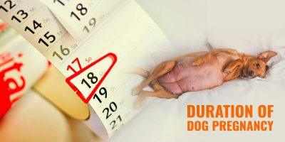 Duration of Dog Gestation