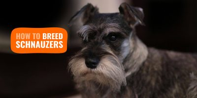 how to breed schnauzers