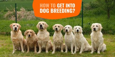 how to get into dog breeding