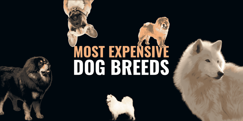Top 20 Most Expensive Dog Breeds — with Price and Description!
