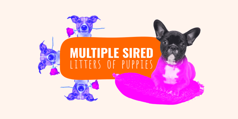 multiple sired litters