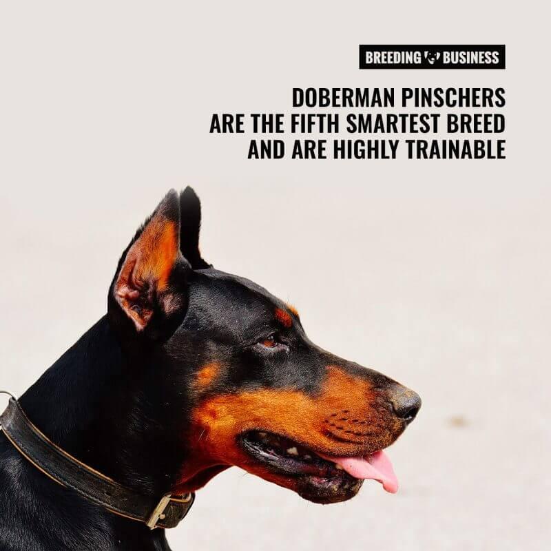 doberman smart dog breed