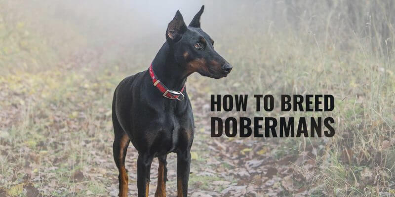 how to breed dobermans