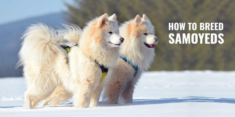 how to breed samoyeds