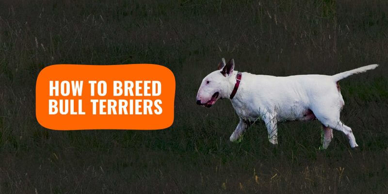 how to breed bull terriers