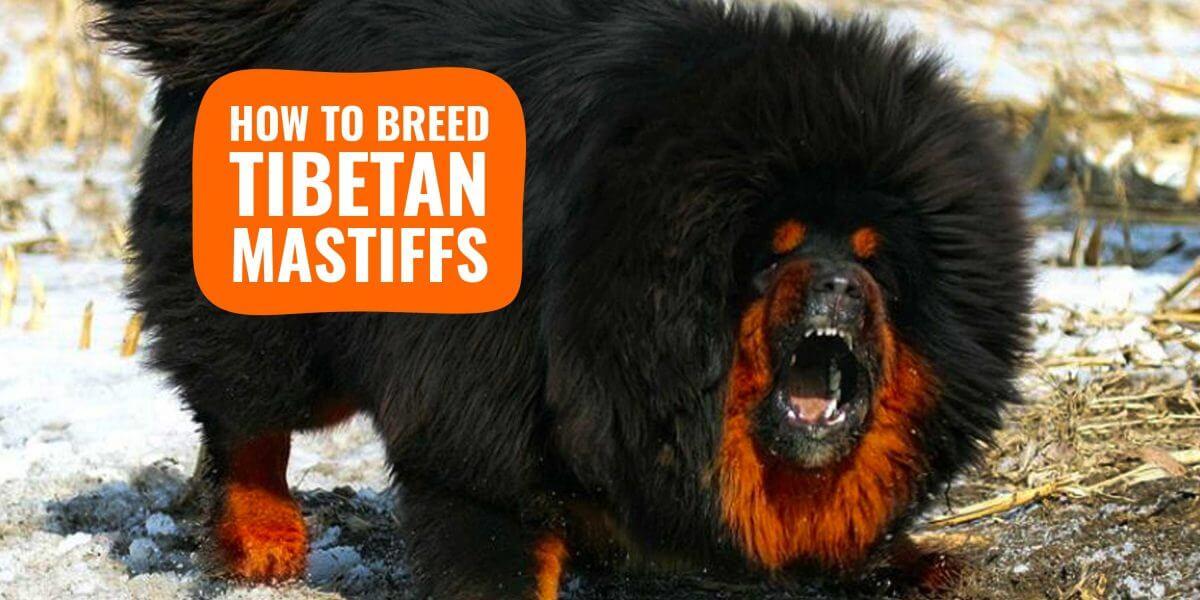 how to breed Tibetan Mastiffs