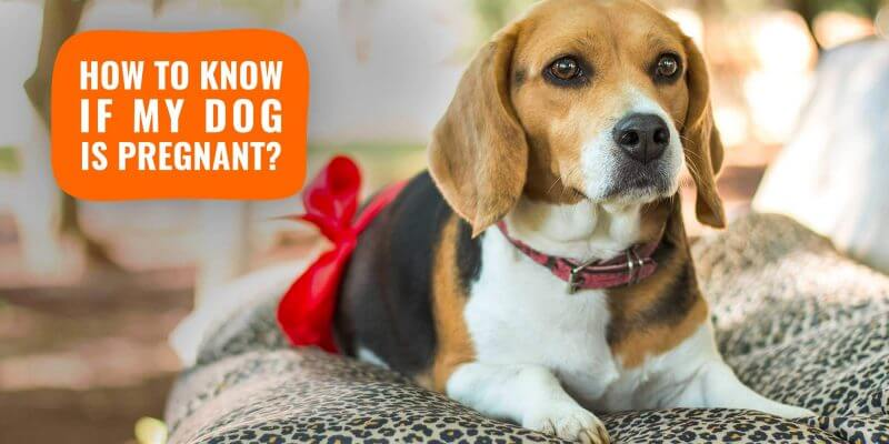 How Do I Know If My Dog Is Pregnant?