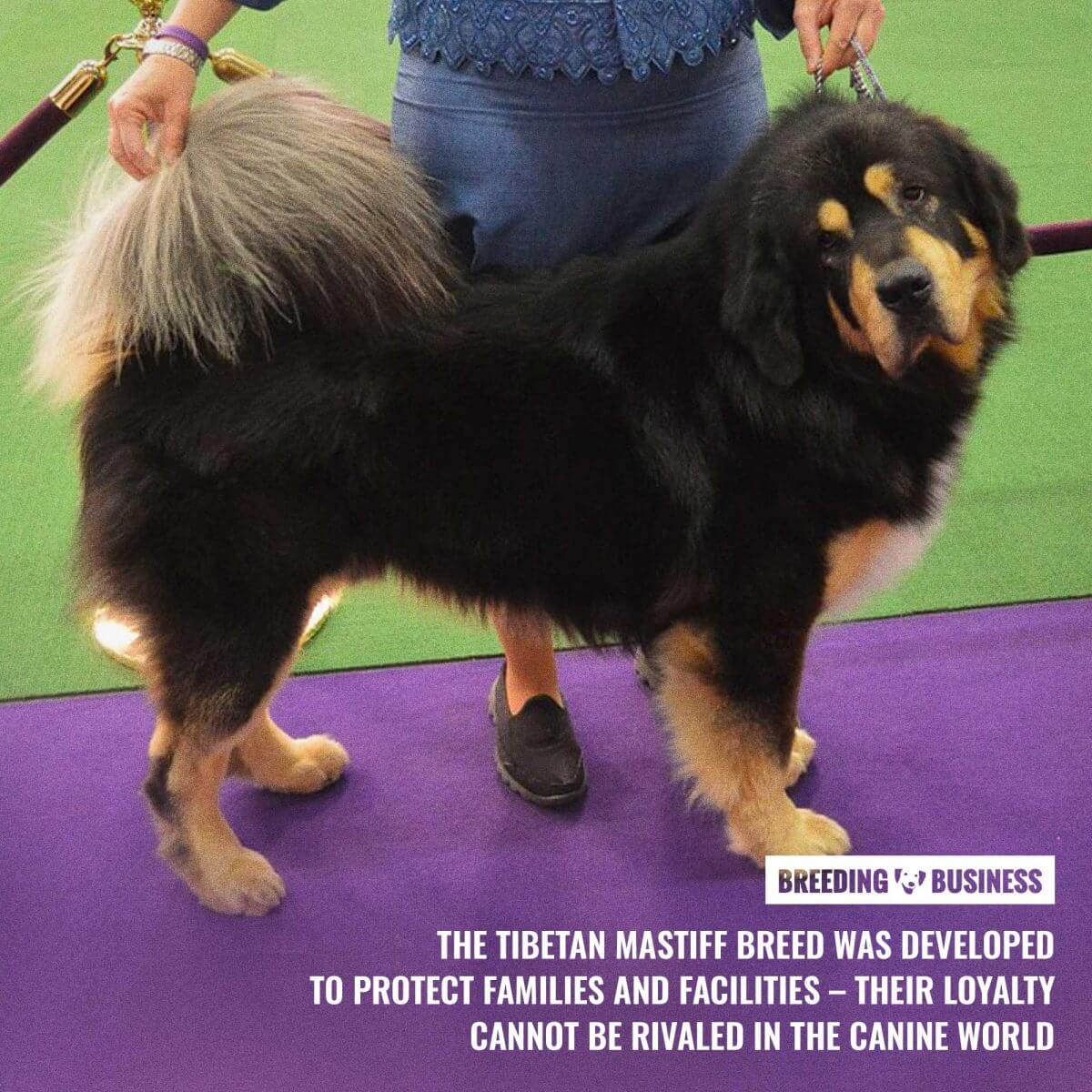 tibetan mastiff breeding