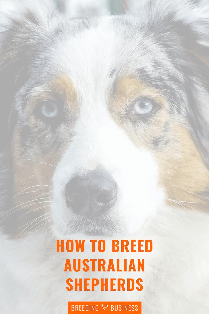 breeding Australian shepherd dogs (guide)