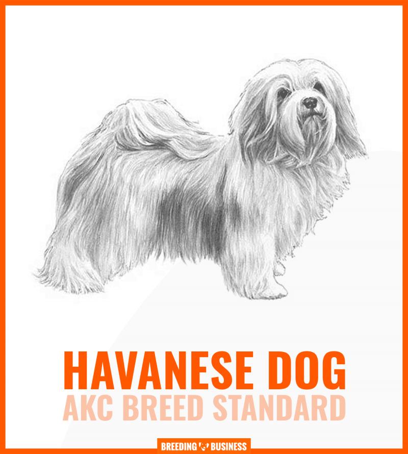 havanese dog breed standard (chart)