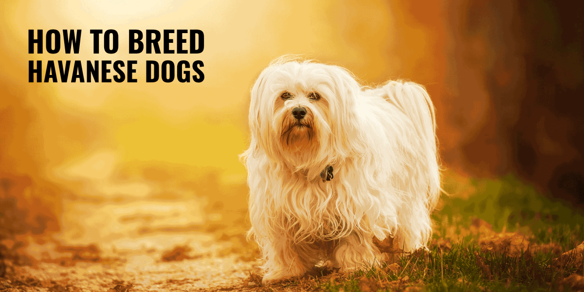 How To Breed Havanese Dogs
