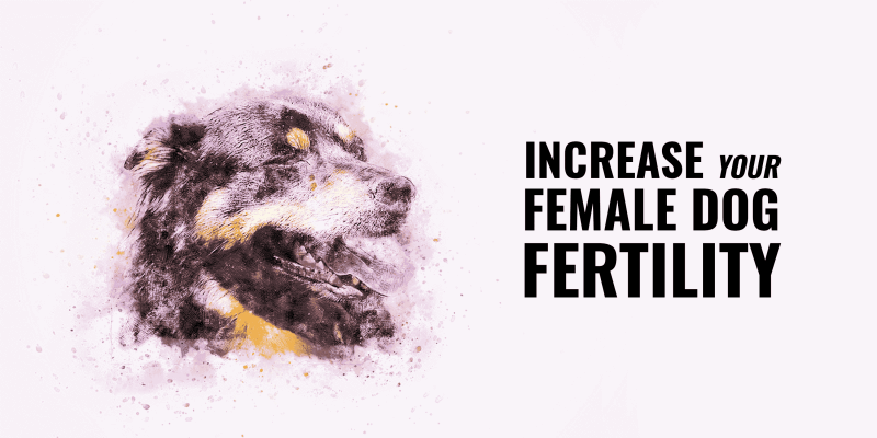 Increase a Female Dog Fertility