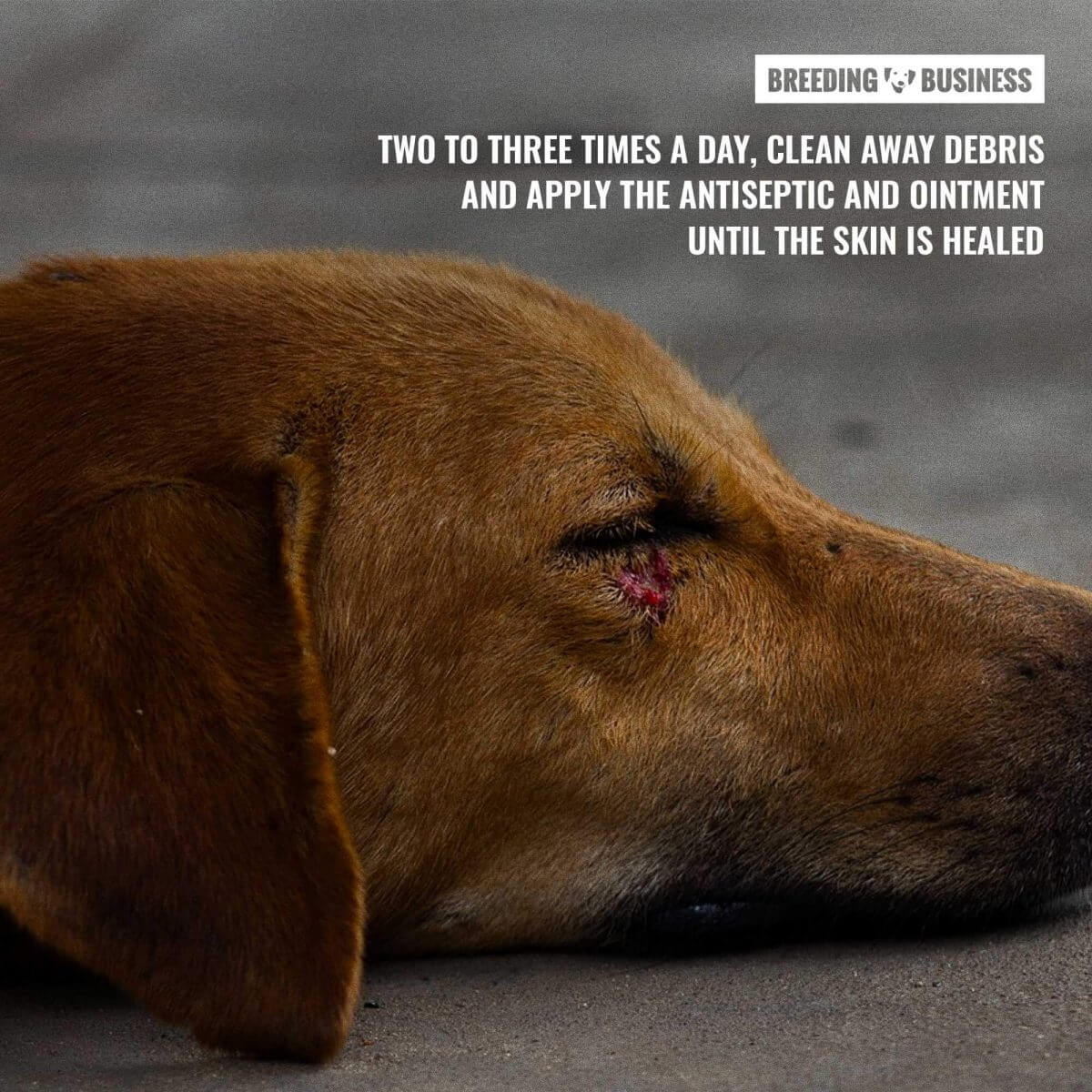 open dog wound cleaning