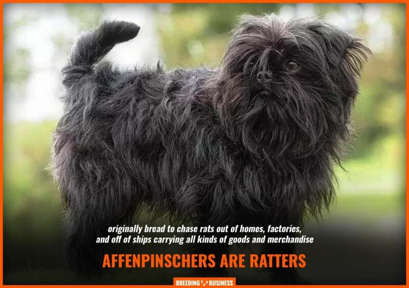 affenpinscher breeding for rats