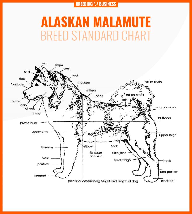 alaskan malamute breed standard