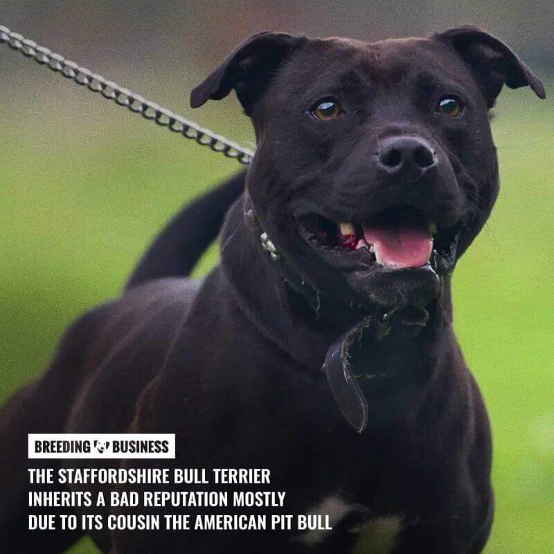 are staffordshire bull terriers dangerous