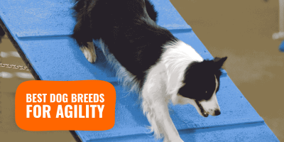 Best Agility Dog Breeds