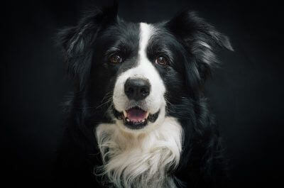 130+ Black & White Dog Names – Pick a Name for Your Bicolor Dog!