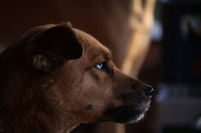 Dangerous Dog Pennant