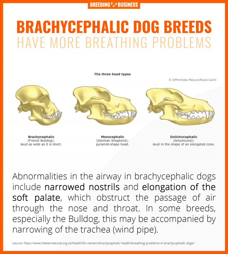 breathing problems in brachycephalic dogs