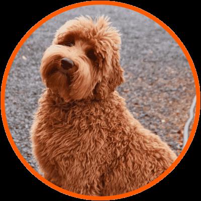 Poodle Mixes – Guide, Sizes, Shedding, FAQ & List of Poodle Crossbreeds