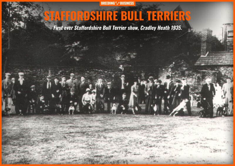 The first Staffordshire Bull Terrier dog show ever.