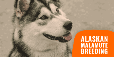 How To Breed Alaskan Malamutes