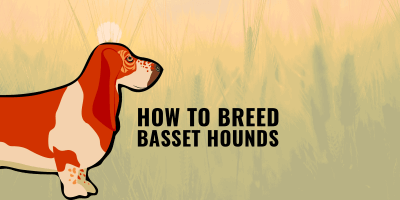 How To Breed Basset Hounds