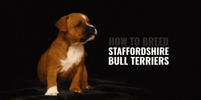 How To Breed Staffordshire Bull Terriers