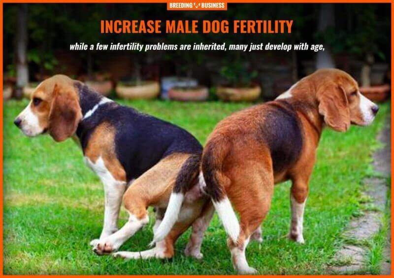 increase male dog fertility