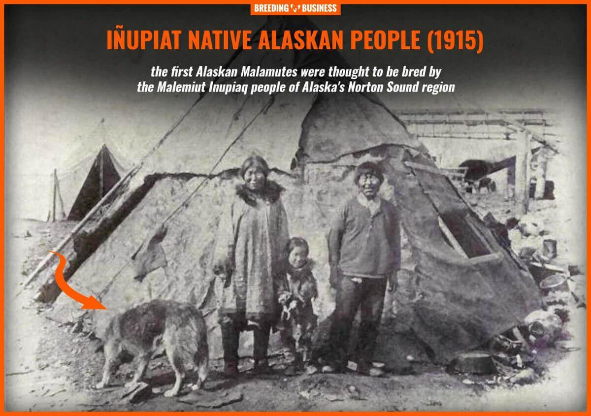 inupiat people alaskan malamute