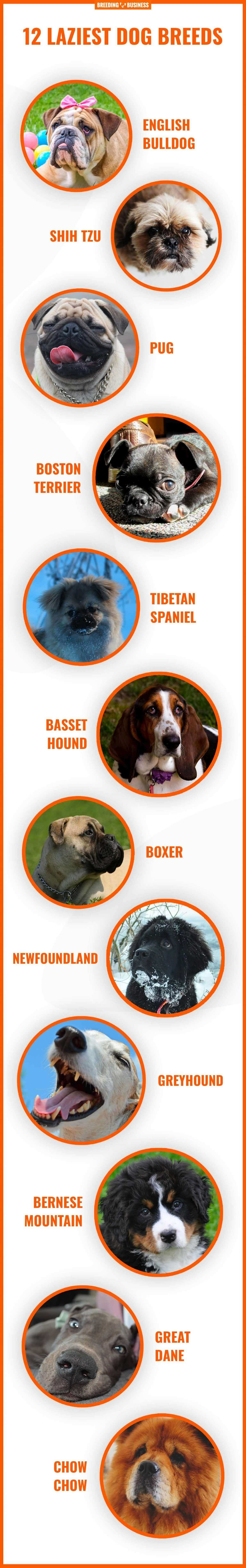 laziest and least-energy dog breeds (infographic)