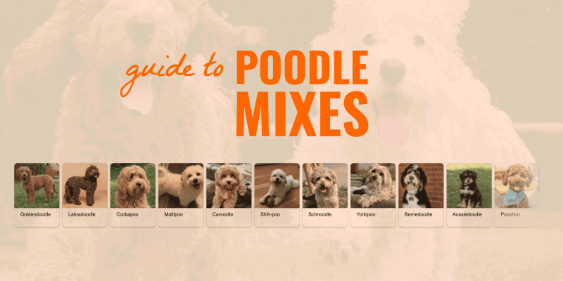 Poodle Mixes Guide Sizes Shedding Faq List Of Poodle