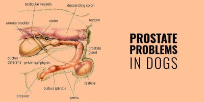 Prostate Problems in Dogs – Hypertrophy, Prostatitis, Cancer & Cysts