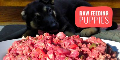 raw feeding puppies
