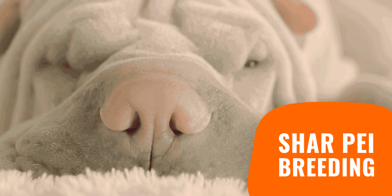 how to breed shar peis