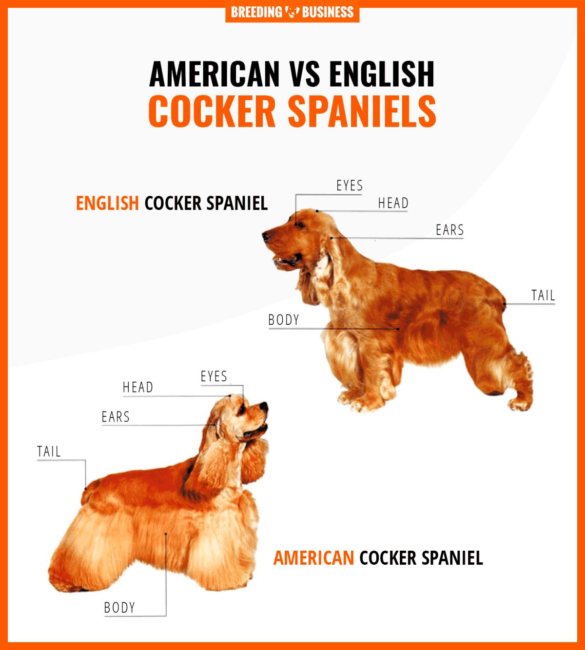 american vs english cocker spaniels