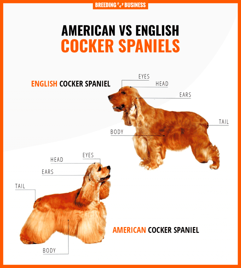 american vs english cocker spaniels