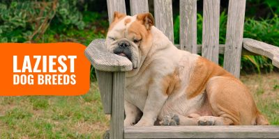 laziest dog breeds list