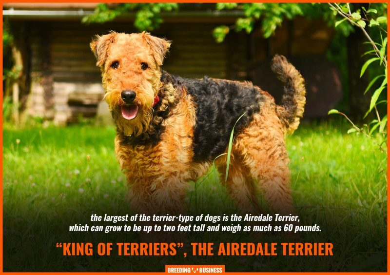 airedale terrier size
