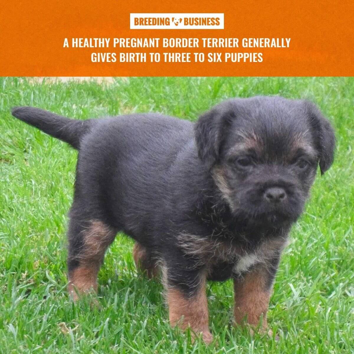 border terrier litter size