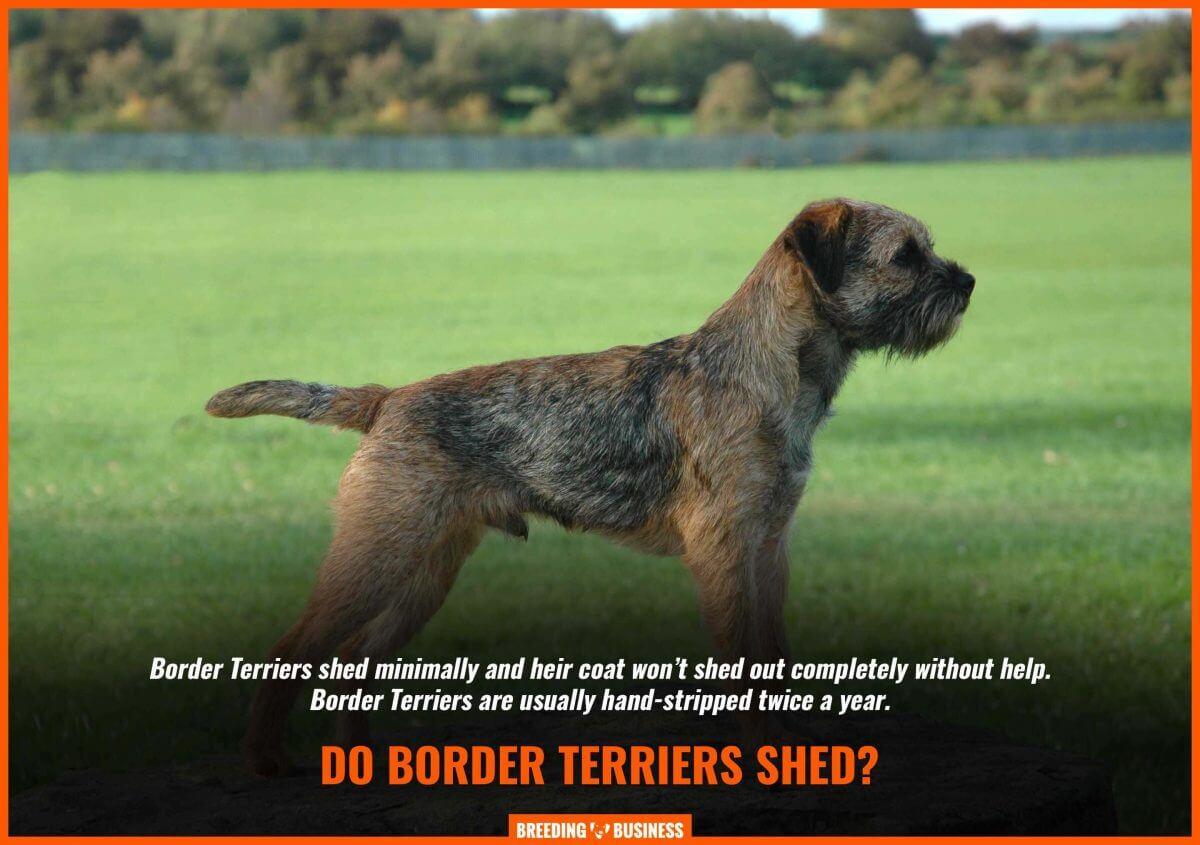 border terrier shedding