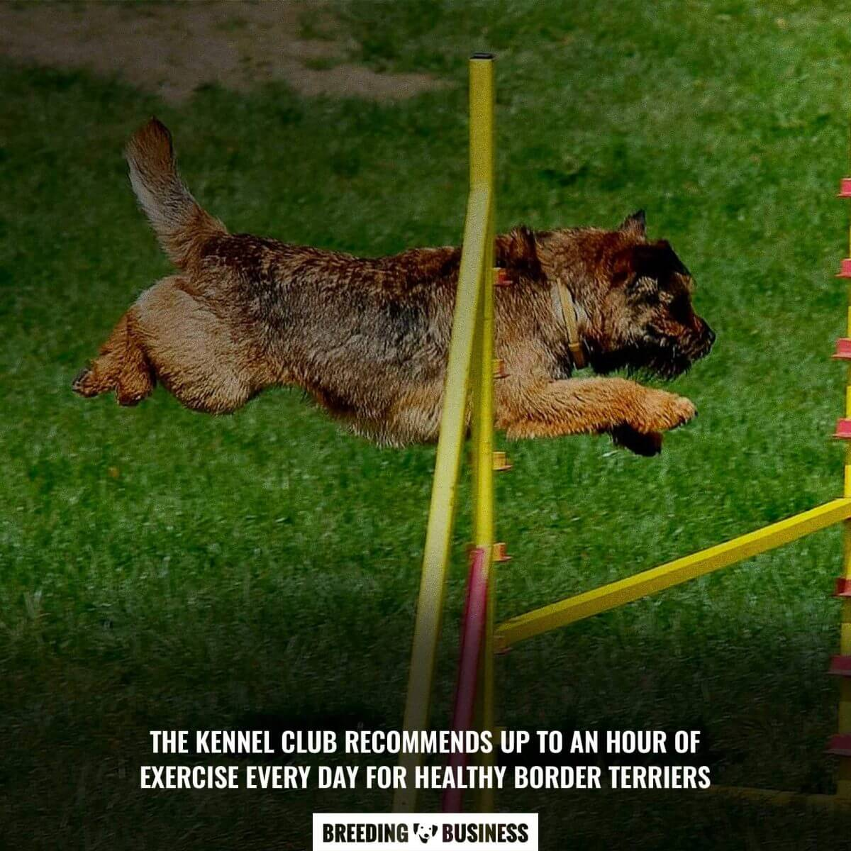 border terriers exercise needs
