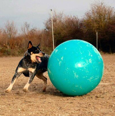 dog exercise ball / treiball