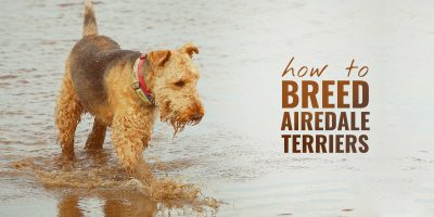 how to breed airedale terriers