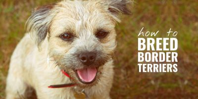 how to breed border terriers