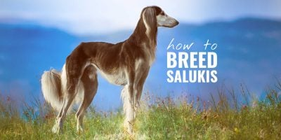 How To Breed Salukis