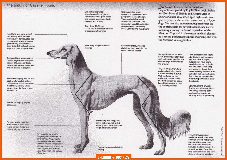 Chart of the Saluki breed standard.